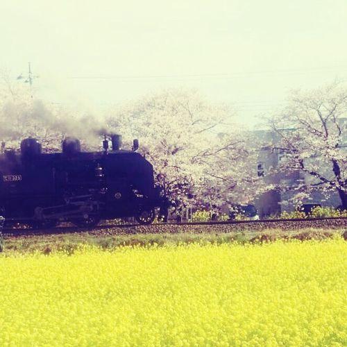 菜の花 桜 SL 蒸気機関車