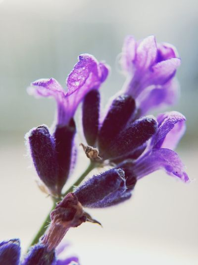 Lavender Flower Nature Fragility Growth Freshness No People Beauty In Nature Flower Head Close-up Plant Outdoors Day Macro Photography Macro Maximum Closeness