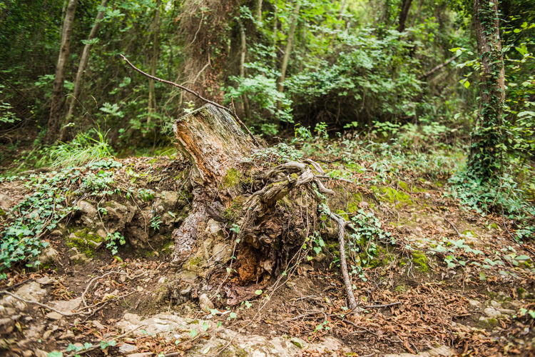 In the Italian forest, La Batteria di Punta Chiappa Hiking Portofino Natural Regional Park Adventure Beauty In Nature Day Dead Tree Deciduous Forest Forest Growth Nature No People Outdoors Root Scenics Thick Tourism Tranquility Tree Tree Trunk WoodLand Woods