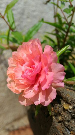 Garden Summer Pink Mossrose Moss Rose India Pink Color Flower No People Peony  Plant Nature Flower Head Beauty In Nature Close-up Freshness Petal Growth Fragility Blooming Outdoors Day