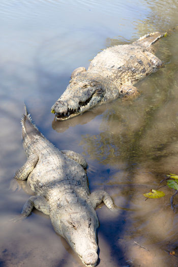 High angle view of crocodiles in pond