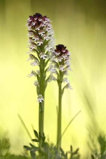 Orchis ustulata Beauty In Nature Beginnings Blooming Botany Bud Close-up Day Flower Flower Head Focus On Foreground Fragility Freshness Green Color Growing Growth In Bloom Nature New Life No People Outdoors Petal Plant Selective Focus Stem Tranquility