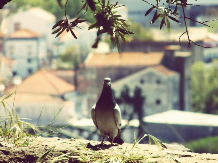 Close-up Beauty In Nature Focus On Foreground Learn & Shoot: Simplicity Pigeon Pigeon Bird  Bird Photography Birds🐦⛅ Perching Beautiful Nature Selective Focus Outdoors Nature EyeEm Best Shots EyeEm Nature Lover Adapted To The City Sommergefühle Go Higher