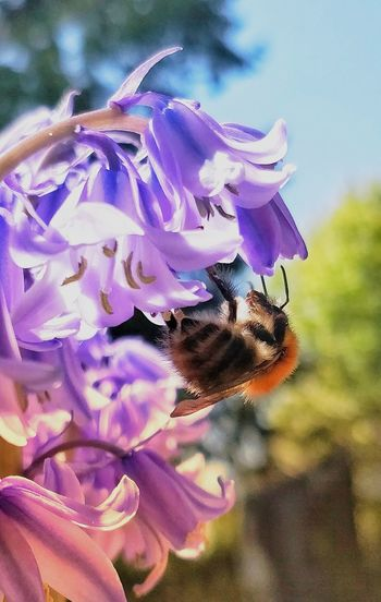 Bluebell bloom Bee Bumblebee Bee On Flower Flower Head Flower Petal Purple Close-up Plant Delicate Colored Photosynthesis In Bloom Stamen Blooming Pollen