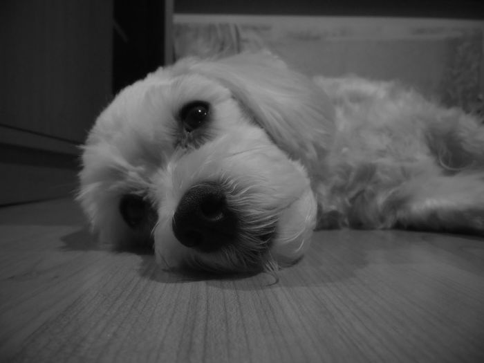 Animal Themes Comfortable Cute Dog Domestic Animals Home I Love My Dog Linett Looking At Camera Pets Relaxation Resting