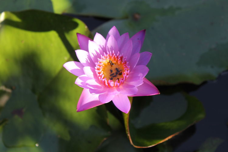 Flower, lotus Freshness Petal Pink Color Beauty In Nature