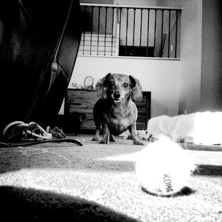 QVHoughPhoto Wienerdog Tennisball Dog Blackandwhite IPhone4s IPhoneography