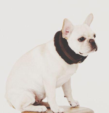 Mypet Cream I Love My Dog Frenchbulldog