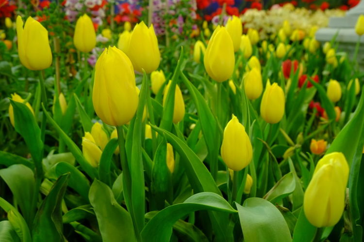 Close-up of yellow tulips in field