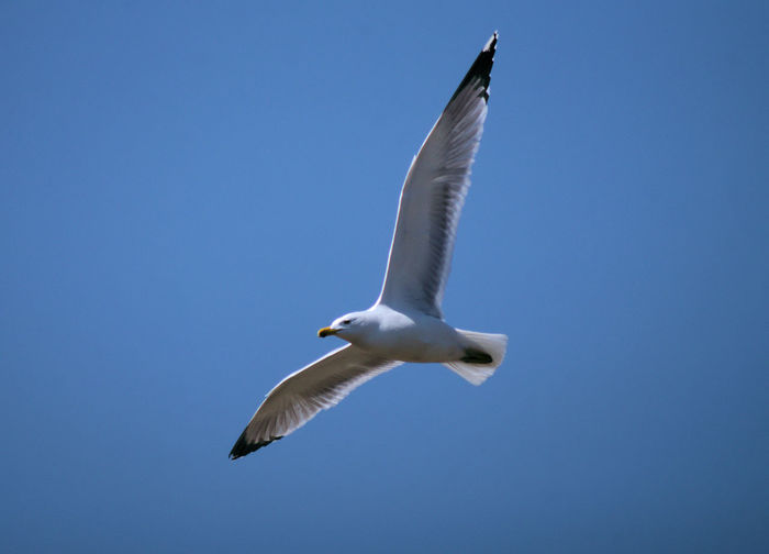 Low angle view of seagull flying
