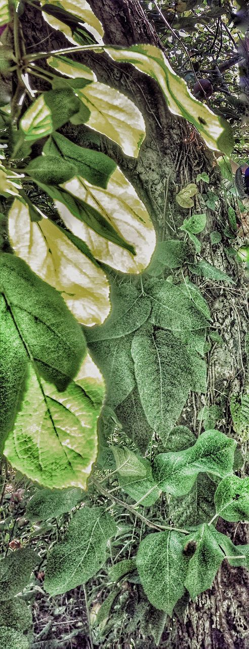 leaf, green color, food and drink, no people, high angle view, freshness, food, healthy eating, growth, close-up, day, nature, outdoors