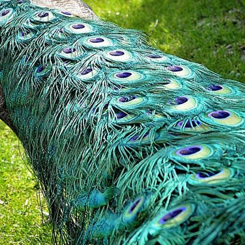 Pavo real Temaiken Cola Colorful Colores animal aves Argentina bioparque