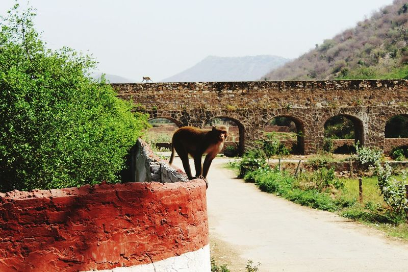Monkey Indian Street Photography Nature Animal Background Awesome Background Hills Background Old Bridge Rajasthan India March 2016 Roadtrip Roadtrip Adventures Check This Out Nature's Diversities Nature Photography Found On The Roll Lovely Weather Pose For The Camera by The Monkey Rajasthantrip Animal Posing Animal Photography Get Outdoors Nature_collection