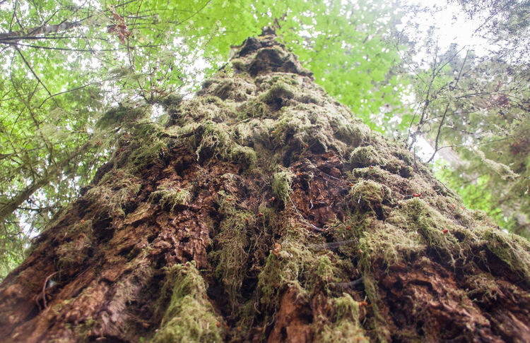 Bark Beauty In Nature Botany Branch British Columbia Brown Cathedral Gorve Forest Growth Low Angle View Moss Nature Outdoors Pacific Rim Rough Scenics Sky Tall Tall - High Textured  Tofino Tranquility Tree Tree Trunk Wilderness