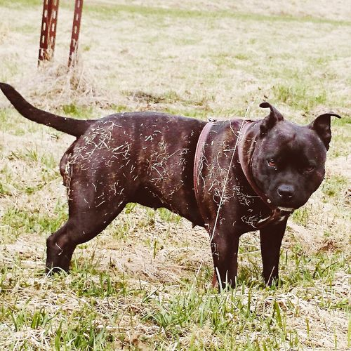 EyeEmNewHere Pets Animal Themes Domestic Animals One Animal Mammal Grass Field No People Full Length Day Outdoors Livestock Nature Staffordshire Bull Terrier