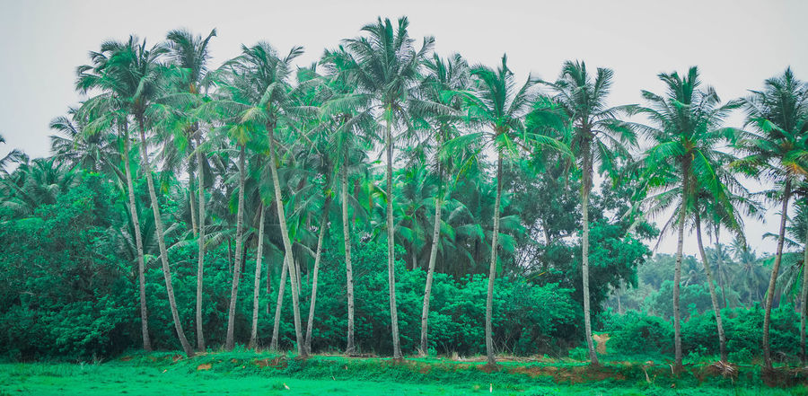 neon green Tree Lush Foliage Sky Grass Green Color Lush - Description Pine Woodland Woods Pinaceae Bamboo Grove Tranquil Scene Tree Trunk Pine Tree Bamboo Grove Woods Woods Pinaceae Forest Bamboo Grove Growing Tranquil Scene Pine Tree Growing Growing Forest Growing Growing