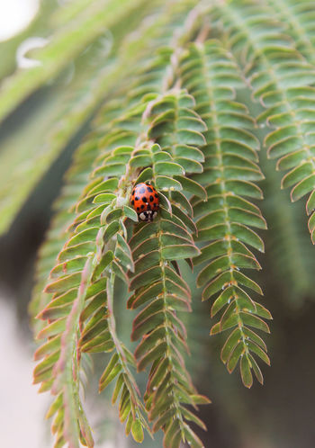 Lady Bug Ladybug Animal Animal Themes Animal Wildlife Beauty In Nature Beetle Close-up Day Focus On Foreground Green Color Growth Insect Ladybug Leaf Mimose Mimose Tree Nature No People One Animal Outdoors Plant Plant Part