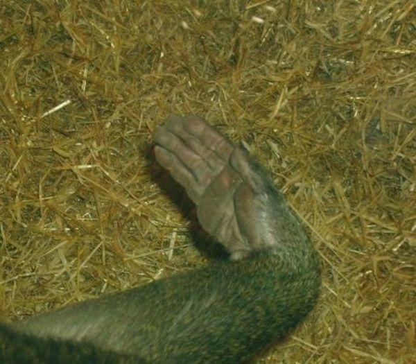 Baboon Baboon Hand Closeup Animal