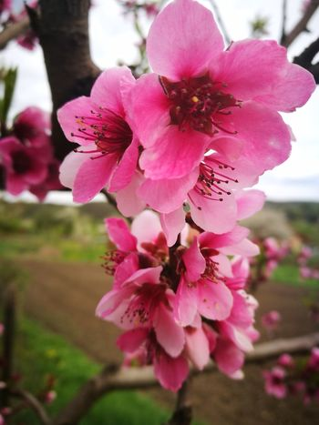 Flower Pink Color Beauty In Nature Blossom Nature Fragility Petal Botany Springtime Flower Head Tree Close-up Freshness Growth Plant Day No People Selective Focus Outdoors Branch