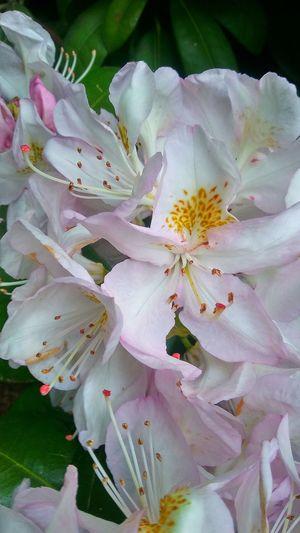 Flower Head Flower Springtime Stamen Petal Pink Color Blossom Close-up Pollen Pistil