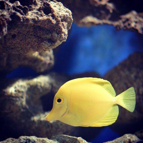. بی کپشنی غوغا میکنه :پی Yellowtang Nikond3200 Nikon 35mmnikon 35mmnikkor نیکون نیکول nikkor ماهی fish aquarium آکواریوم
