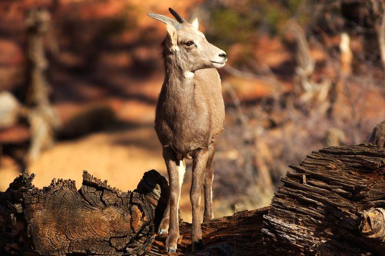 desert bighorn sheep Desert Arid Climate Bighorn Sheep Zion National Park Utah Desert Bighorn Sheep Horned Horns Wildlife Wild Animal Horned Animals Safari Animals Standing