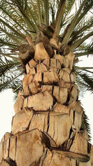 Real Tree Tree Palm Tree