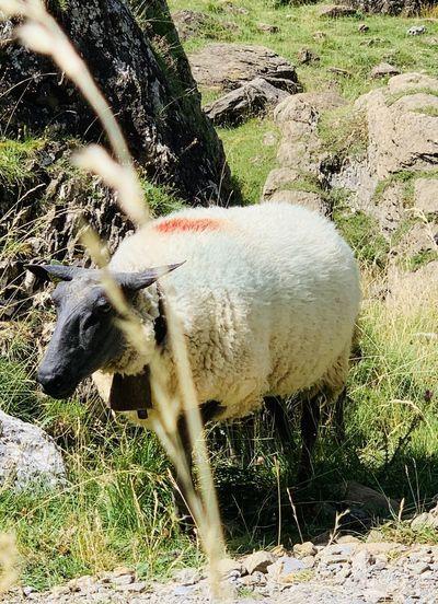 Sheep Mammal