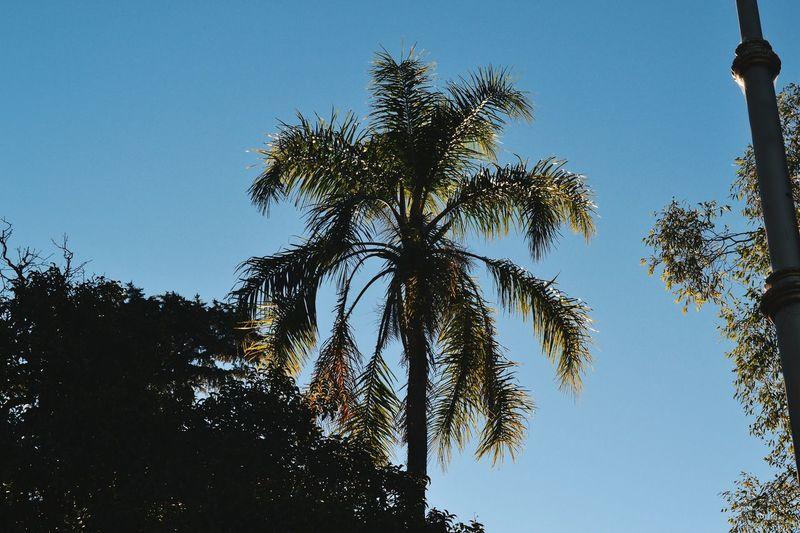 Palmera 🌴 Tree Low Angle View Sky Blue Nature Silhouette No People Day Outdoors Growth Clear Sky Branch Tree Area Belgrano Barrancas De Belgrano