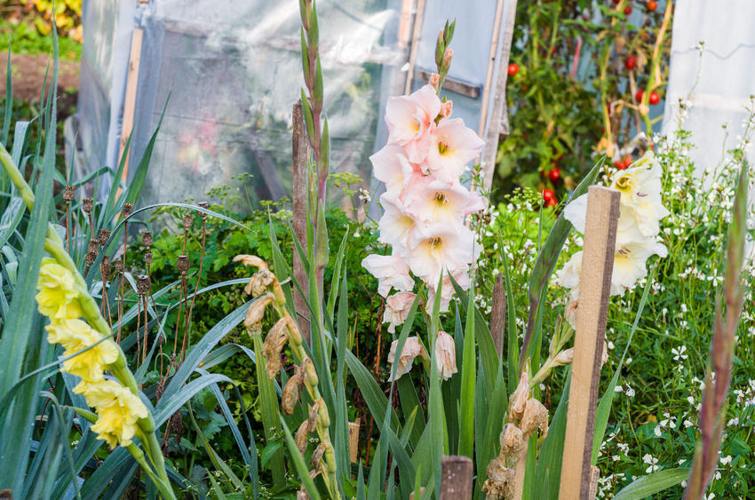 Gladiolus Beauty In Nature Close-up Day Flower Flower Head Gladiolus Nature No People Outdoors Plant Summer Tomatoes