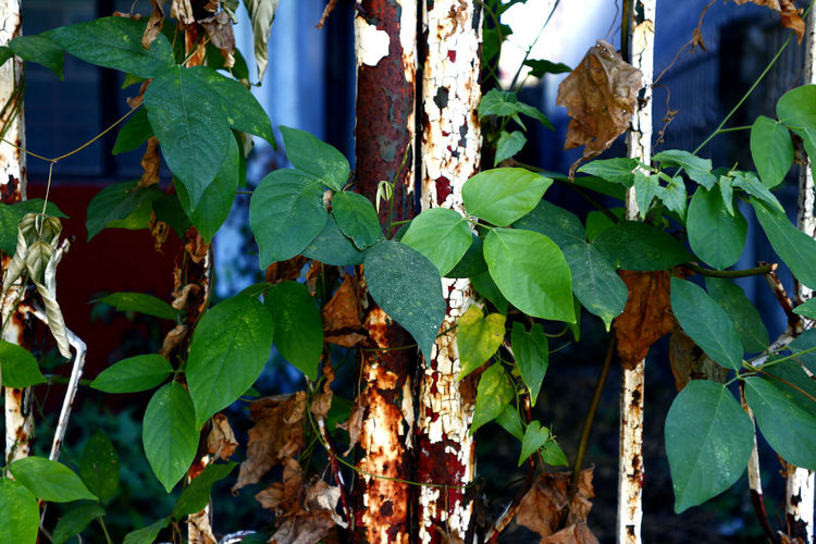 plant leaves growing through a rusty metal gate Nature Natural Plant Leaf Leaves Metal Iron Steel Gate Entrance Entry Exit Lock Abandoned Grass Tree Garden Tree Leaf Ivy Close-up Plant Green Color Vine Creeper Plant Creeper Overgrown Vine - Plant Growing Blooming