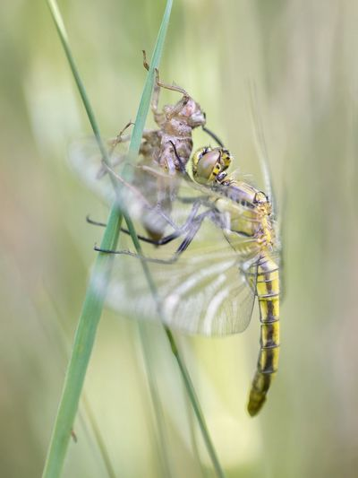 Dragonfly birth Https://www.facebook.com/mh.photography.de/ Michael Hruschka New Life Birth Macro Photography Makro Tiere Insekten Damselfly Animal Themes Animal Animal Wildlife Insect Invertebrate Animals In The Wild One Animal Close-up Beauty In Nature Animal Wing Macro Fragility