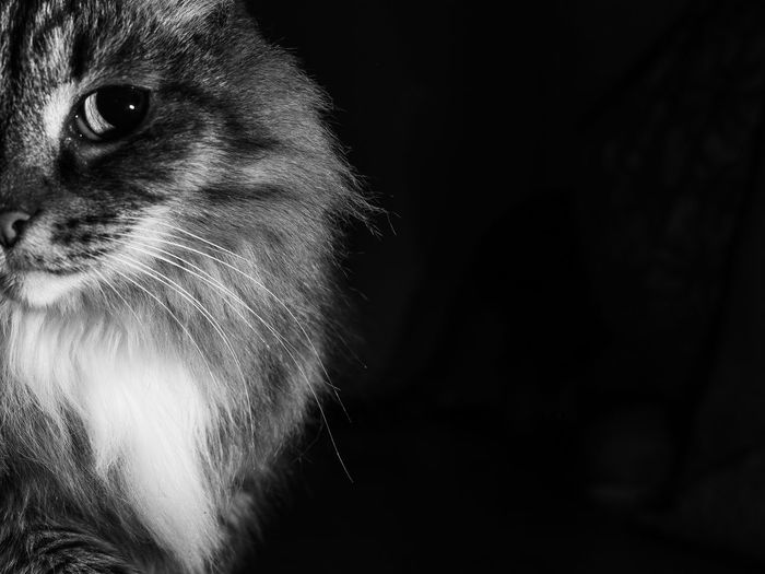 BnW Cat, Darkness, abstract Whisker Close-up Black Background Indoors  No People Domestic Cat Domestic Animals Feline Domestic Pets Vertebrate Cat Mammal Animal Animal Themes One Animal Copy Space Animal Body Part Indoors  Studio Shot Animal Head  Looking Away Animal Eye