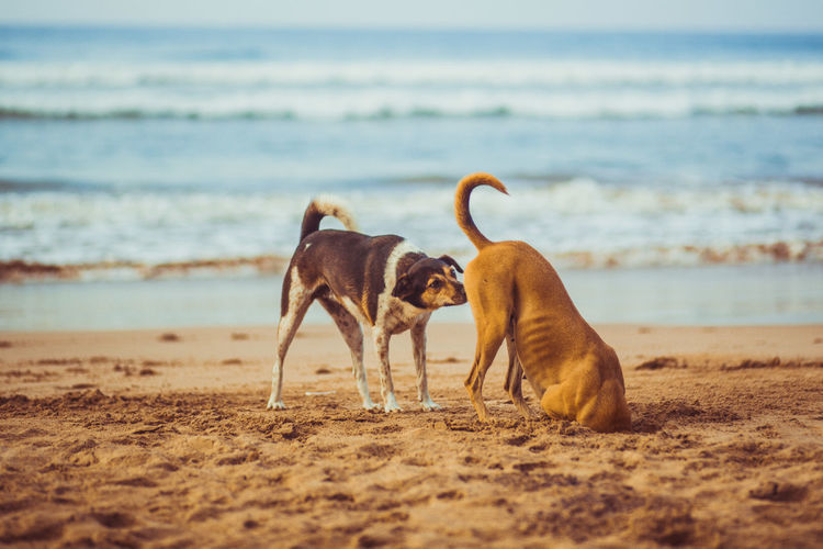 #beachdogs #brownnoser #crazydog #crazydogs #dog #dogs #headinsand #lol #sniffingdogs Animal Themes Beach Day Domestic Animals Mammal Nature No People Nopeople Outdoors Sand Sea Sky Sniffingdog Water