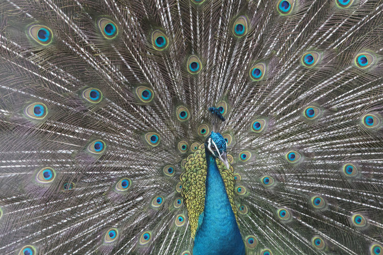 Animal Themes Animal Wildlife Animals In The Wild Beautiful People Beauty Beauty In Nature Bird Close-up Day Fanned Out Feather  Multi Colored Nature One Animal Outdoors Peacock Peacock Feather People Portrait Showing Vanity
