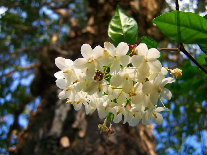 Wrightia religiosa Benth.,Wild Water Plum. Wrightia Religiosa Benth Beauty In Nature Blossom Branch Cherry Blossom Close-up Flower Flower Head Flowering Plant Focus On Foreground Fragility Freshness Growth Inflorescence Nature Outdoors Petal Plant Pollen Spring Springtime Tree Vulnerability  White Color Wild Water Plum