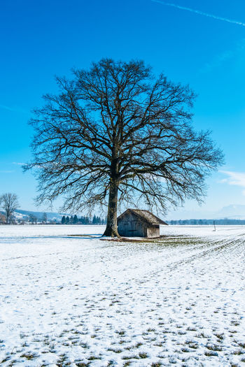 Bare Tree On Snow Covered Landscape Against Clear Blue Sky