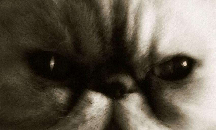 Cat Close Up My Pet Evil Cat Pets Corner