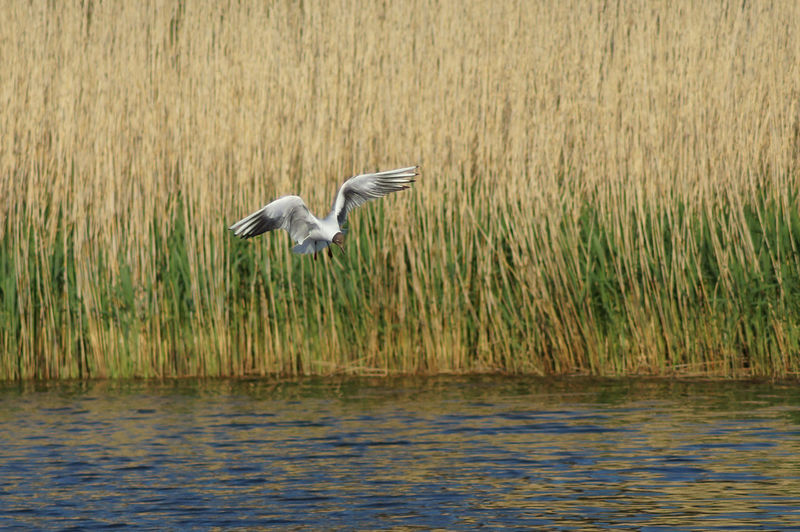 Seagull flying over baltic sea against reeds