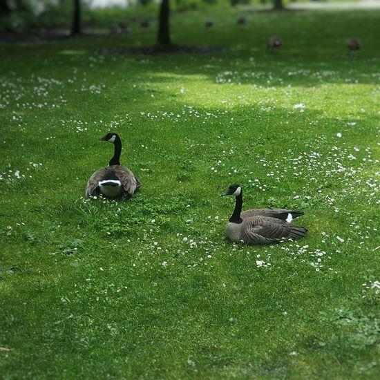 Ducks in a water