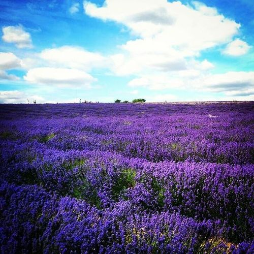 Lavender Cotswolds Provence Summer Flowers Lavande Fragrance Oils Nature Outdoors Tropical Paradise Beauty In Nature Scenics England Summertime