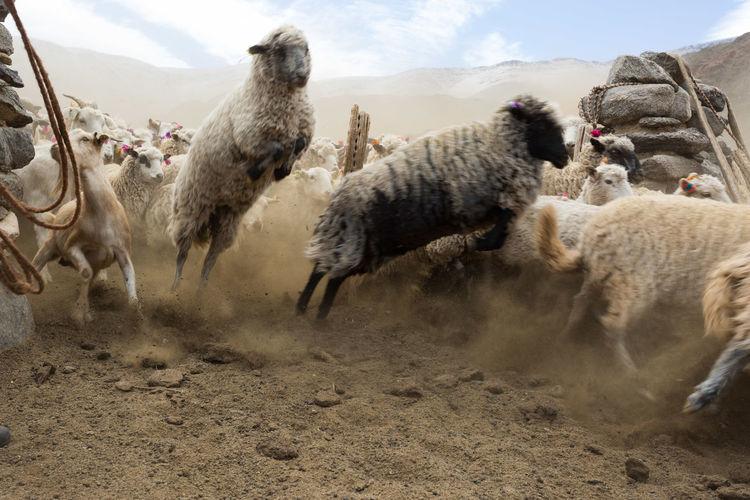 Sheep🐑 Sheeps