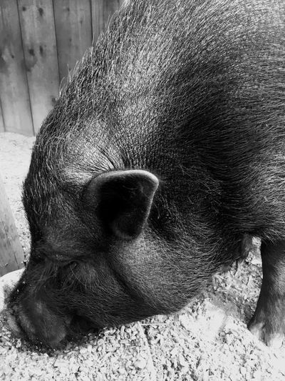 Blackandwhite Pig Animal Themes One Animal Animal Mammal Vertebrate No People Close-up Domestic Animals Relaxation Animals In The Wild Domestic Day Animal Body Part High Angle View Animal Wildlife Nature Outdoors