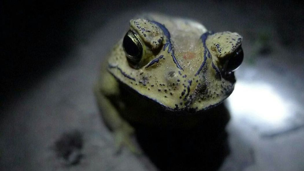 Frog Thailand Morbid Toad Halloween Nature Night Naturelovers Learn & Shoot: Single Light Source