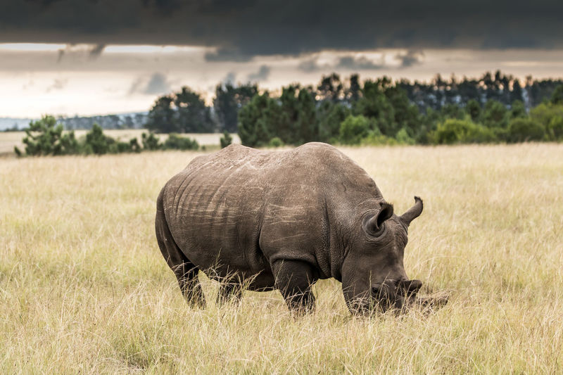 Animal Animal Themes Animal Wildlife Animals In The Wild Mammal Plant Grass One Animal Nature Vertebrate Field Day No People Domestic Animals Land Outdoors Herbivorous Rhino Rhinoceros Safari Landscape Cloud - Sky
