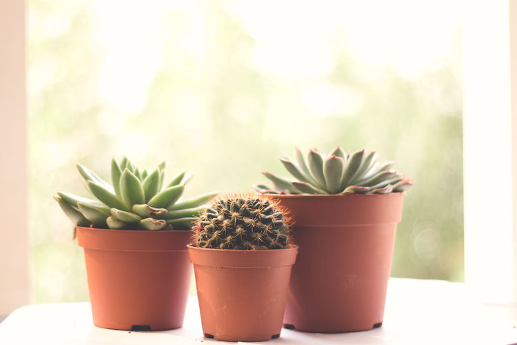 Cactus Green Color Succulents Beauty In Nature Cactus Close-up Garden Green Color Growth Indoor Garden Nature No People Plant Plant Part Succulent Succulent Plant