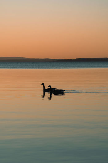 Silhouette bird swimming in sea against sky during sunset