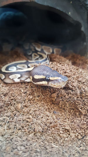 Animal Wildlife Animals In The Wild One Animal Animal Themes No People Snake Slithery Little Snake Indoors  Water Animal Head  Animal Animal Body Part Cute Looking At Camera Animal Skin Nature Day Close-up Reptile Outdoors