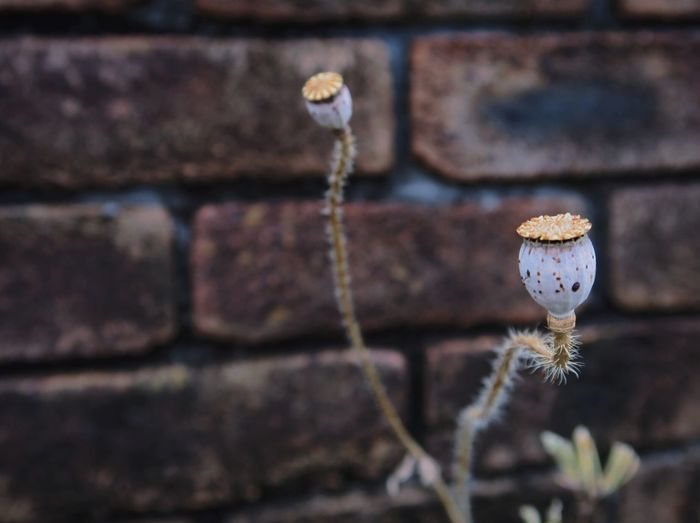 Close-up of poppy seeds by brick wall