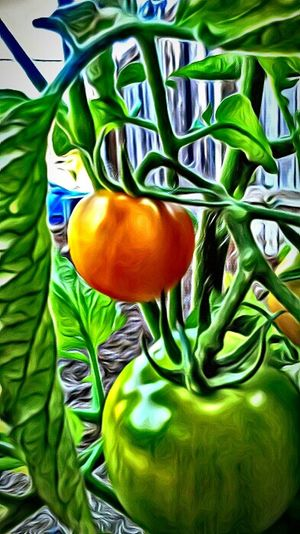 Growyourown Homegrown Tomatoes Tomatoes My Garden Hidden Gems  I Grew This Grown With Love On The Vine Oregon Lives Oregon Love Oregon Trail Oregon Soil Good Food!!! Good Food Good Mood Good For The Heart when you grow your own food ,it just seems to taste better. 😉 Yummy For My Tummy Ripen Wildlife & Nature Home Is Where The Art Is